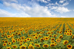 Beau gisement de tournesol Photographie stock