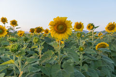 Beau gisement de tournesol Image stock