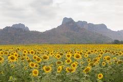 Beau gisement de tournesol de pleine floraison avec le fond de montagne Images libres de droits
