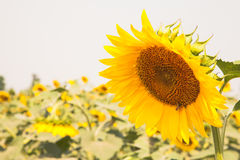 Beau gisement de tournesols Photographie stock
