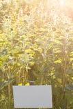 beau gisement de tournesols dans le coucher du soleil La cueillette fleurit en Allemagne seul avec le plat des prix Vendeur muet images libres de droits