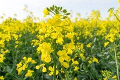 Beau gisement ensoleillé de graine de colza au printemps Images libres de droits