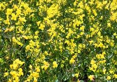 Beau gisement jaune de colza ol?agineux avec un ciel bleu ensoleill? en ?t? trouv? en Allemagne du nord photo libre de droits