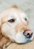 Beau golden retriever Photographie stock