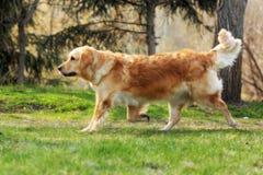 Beau golden retriever heureux de chien fonctionnant autour et jouant Photo libre de droits