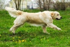 Beau golden retriever heureux de chien fonctionnant autour et jouant Images libres de droits