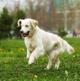 Beau golden retriever heureux de chien fonctionnant autour et jouant Images stock