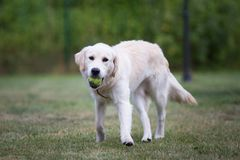 Beau golden retriever mignon jouant avec une boule sur l'herbe verte images stock