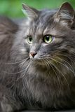 Beau grand chat gris avec les yeux verts photo libre de droits