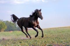 Beau grand cheval noir galopant à travers le champ sur un fond de ciel et de brume clairs Image stock