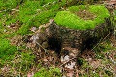 Beau grand tronçon d'arbre Image libre de droits