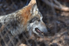 Beau Gray Timber Wolf In The sauvage images stock