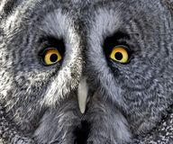 Beau the Great Grey Owl Stock Image