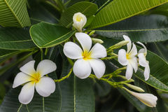 Beau groupe blanc et jaune doux de plumeria de fleur dans g à la maison Photos libres de droits