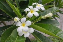 Beau groupe blanc et jaune doux de plumeria de fleur dans g à la maison Photos stock