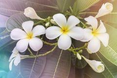 Beau groupe blanc et jaune doux de plumeria de fleur dans g à la maison Images libres de droits