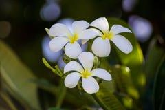 Beau groupe de fleur de Plumeria hawaï image libre de droits