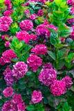 Beau groupe de fleurs roses photographie stock