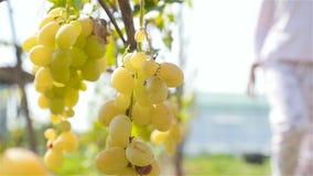 Beau groupe de raisins accrochant sur un vignoble La silhouette d'une fille passe par Au ralenti banque de vidéos