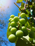 Beau groupe de raisins verts savoureux Image stock