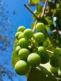 Beau groupe de raisins verts savoureux Photographie stock libre de droits