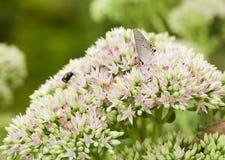 Beau guindineau de Hairstreak gris sur des fleurs Photographie stock libre de droits