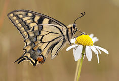 Beau guindineau de machaon Image stock