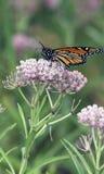 Beau guindineau de monarque alimentant sur les fleurs roses Photographie stock libre de droits
