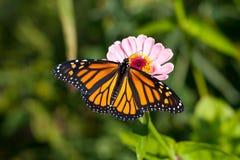 Beau guindineau de monarque sur la fleur de Zinnia. Photographie stock libre de droits