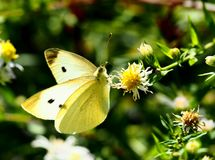 Beau guindineau se reposant sur une fleur Photo stock