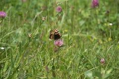Beau guindineau se reposant sur une fleur Photographie stock