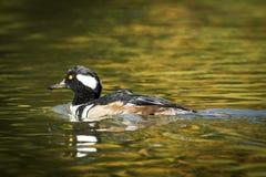 Beau harle à capuchon dans l'étang Photo stock
