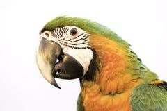 Beau headshot d'oiseau sur le fond blanc Photographie stock libre de droits