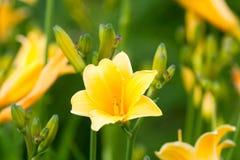 Beau hemerocallis, fleur jaune Images libres de droits