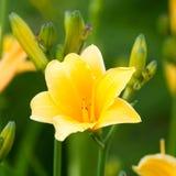 Beau hemerocallis, fleur jaune Photos libres de droits