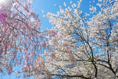 Beau Japonais Cherry Trees photo libre de droits