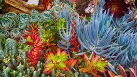 Beau jardin avec des succulents de diverses couleurs parmi les couleurs rouges, pourpre jaune, vert, bleu, luxuriant image libre de droits