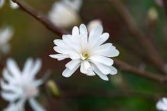 Beau jardin blanc fleurissant de magnolia au printemps photos stock