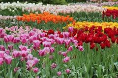 Beau jardin de beaucoup de différentes tulipes image stock