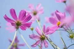 Beau jardin de fleurs rose ou pourpre de Bipinnatus de cosmos de cosmos au foyer mou au parc avec la fleur brouillée de cosmos su Photographie stock libre de droits