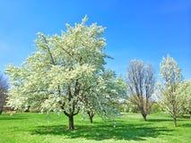 Beau jardin de floraison d'arbre au printemps Photos stock