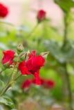 Beau jardin de roses rouges au printemps Photographie stock libre de droits