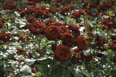 Beau jardin de roses rouges avec plus de roses blured à l'arrière-plan Photographie stock