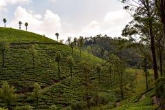 Beau jardin de thé Inde images libres de droits