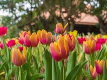 Beau jardin de tulipe sur le fond de tache floue Images stock