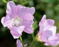 Beau, jardin, fleurs roses en gros plan Image stock