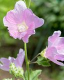 Beau, jardin, fleurs roses en gros plan Image libre de droits