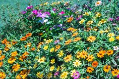 Beau jardin multicolore de Zinnia photo stock