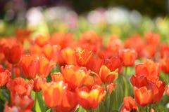 Beau jardin rouge de tulipe dans le lever de soleil de matin Photographie stock