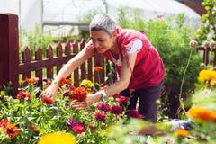 Beau jardinier mûr de femme coupant peu d'usine de fleur photo libre de droits